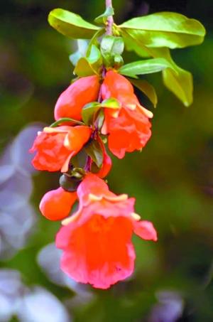 植物攀枝花花朵素描